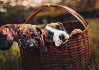 Basket-of-puppies-illustrating-consumer-rewards